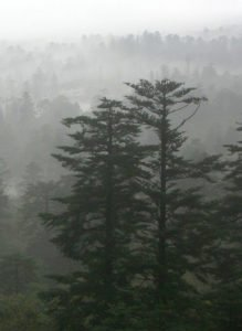 Fir Trees (Abies Fabri) are common all over the world